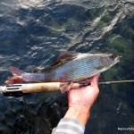 The first Kupa grayling