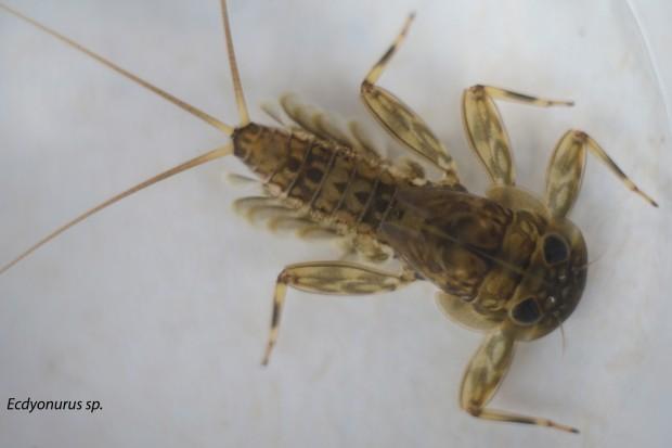 Ecdyonurus-sp